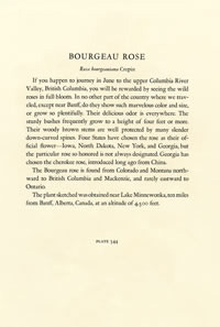 Description of plate 344 Bourgeau Rose