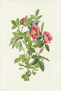 plate 344 Bourgeau Rose by Mary Vaux Walcott